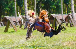 Cockfighting that runs rampant in the U.S. | Photo: Shutterstock
