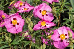 Mediterranean Cistus Incanus from Linden Botanicals
