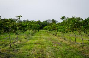 Reforestation with Pongamia