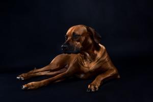 best rhodesian ridgeback puppies for sale in texas