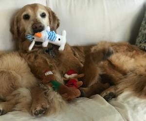 A golden retriever lying on the couch with a dog toy in her mouth.