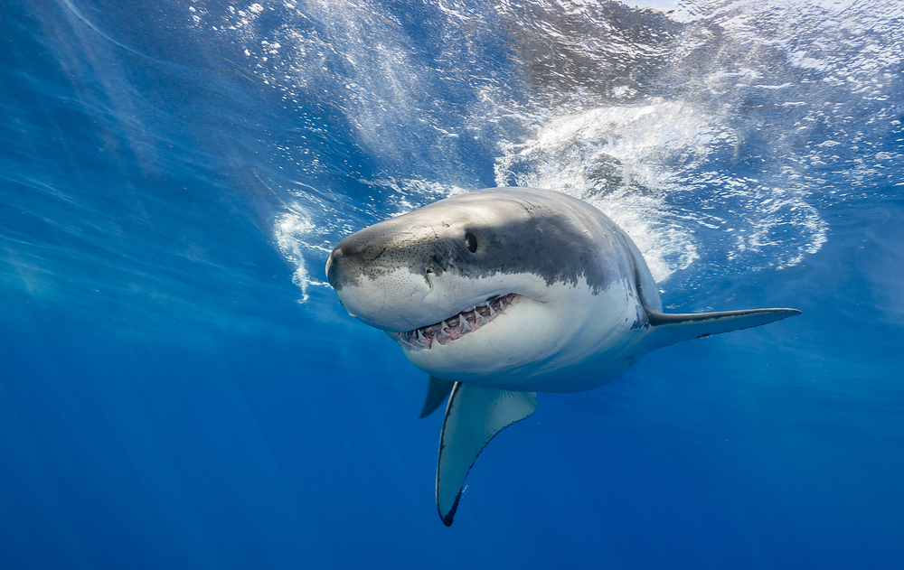 Worker's Compensation related to Michael Phelp's Shark Race