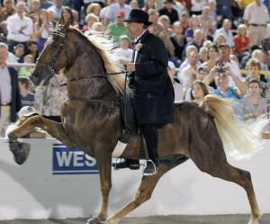 "World Grand Champion Tennessee Walking Horse performing the ""Big Lick"""
